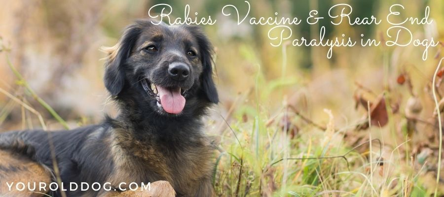 rabies vaccine and rear end paralysis in dogs