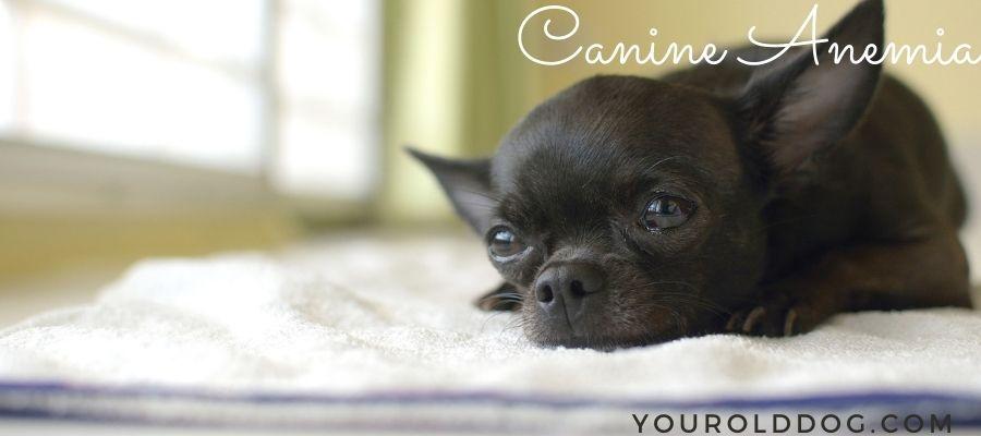 dog anemia natural treatment