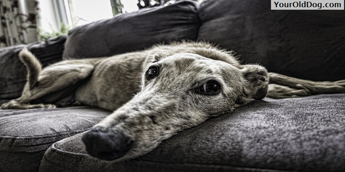 Canine Anemia