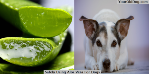 Safely Using Aloe Vera For Dogs