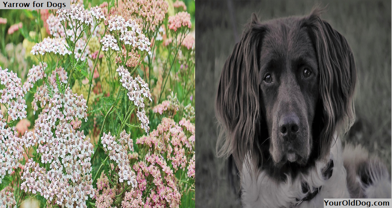 Yarrow for Dogs