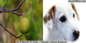 Black walnut for dogs