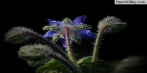 Borage for dogs