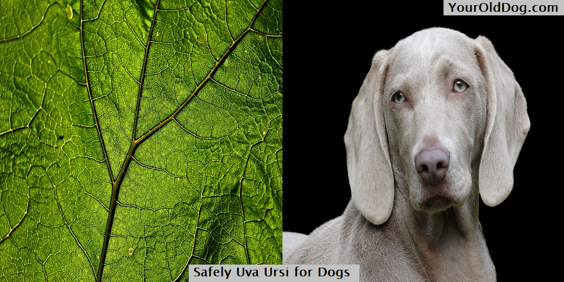 Uva Ursi for Dogs