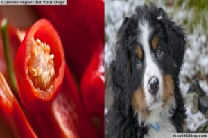 Cayenne pepper for dog