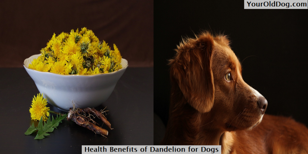Health Benefits of Dandelion for Dogs