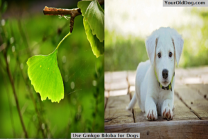 Use Ginkgo Biloba for Dogs