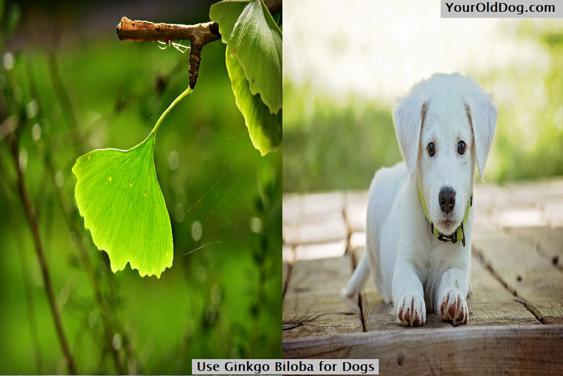 Use Ginkgo Biloba for Dogs
