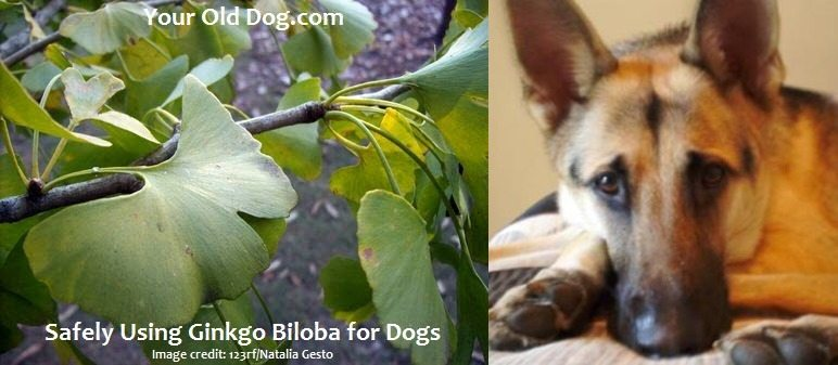How to Safely Use Ginkgo Biloba for Dogs