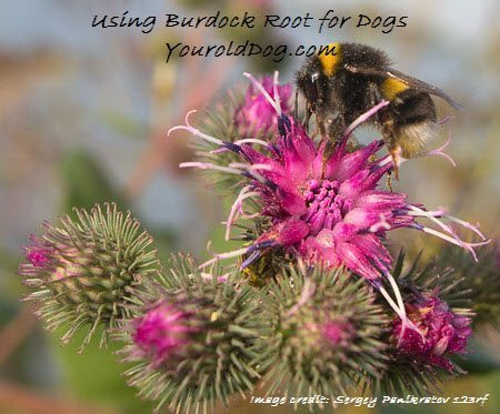 Burdock Root for Dogs and How to Safely Use It