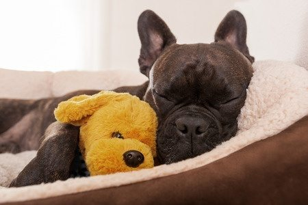 image of dog with teddy bear for article on inflammation in dogs
