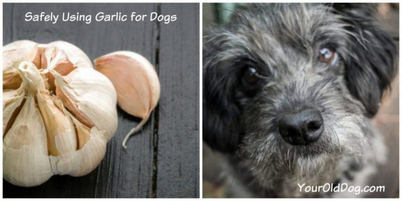 safely using garlic for dogs