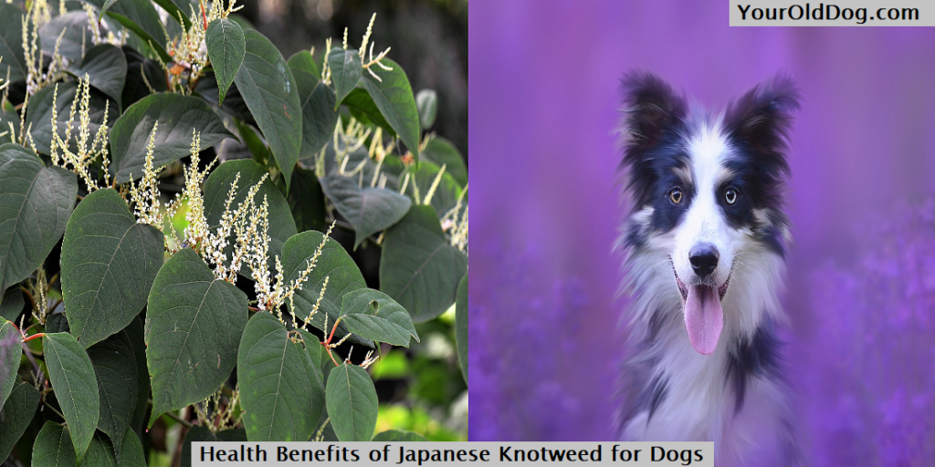Health Benefits of Japanese Knotweed for Dogs