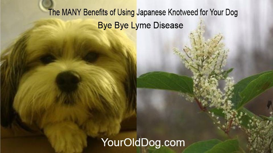 Safely using japanese knotweed for dogs fandeluxe Image collections