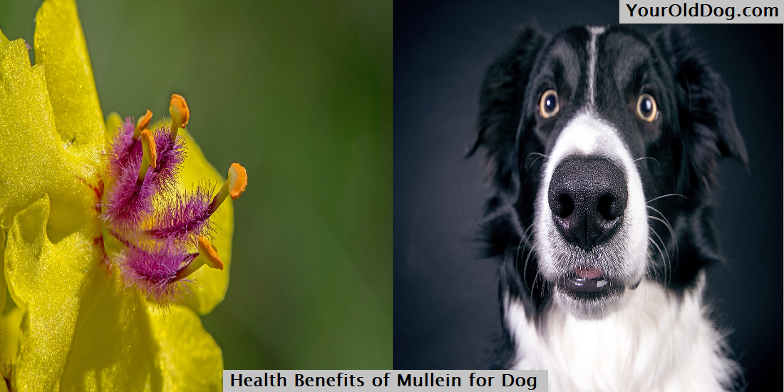 Health Benefits of Mullein for Dog