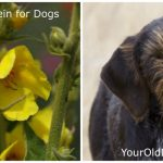 Safely Using Mullein for Your Dog