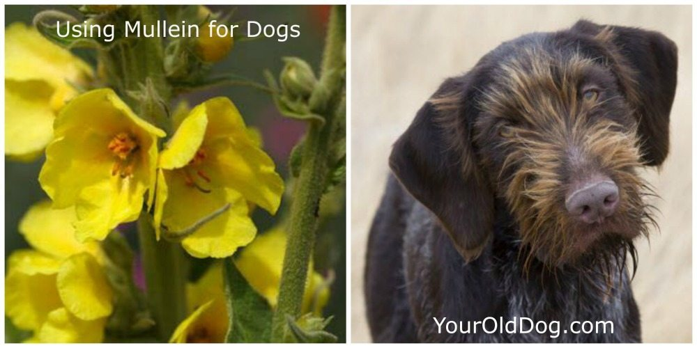 using mullein for dogs