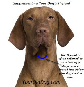 supplementing your dog's thyroid