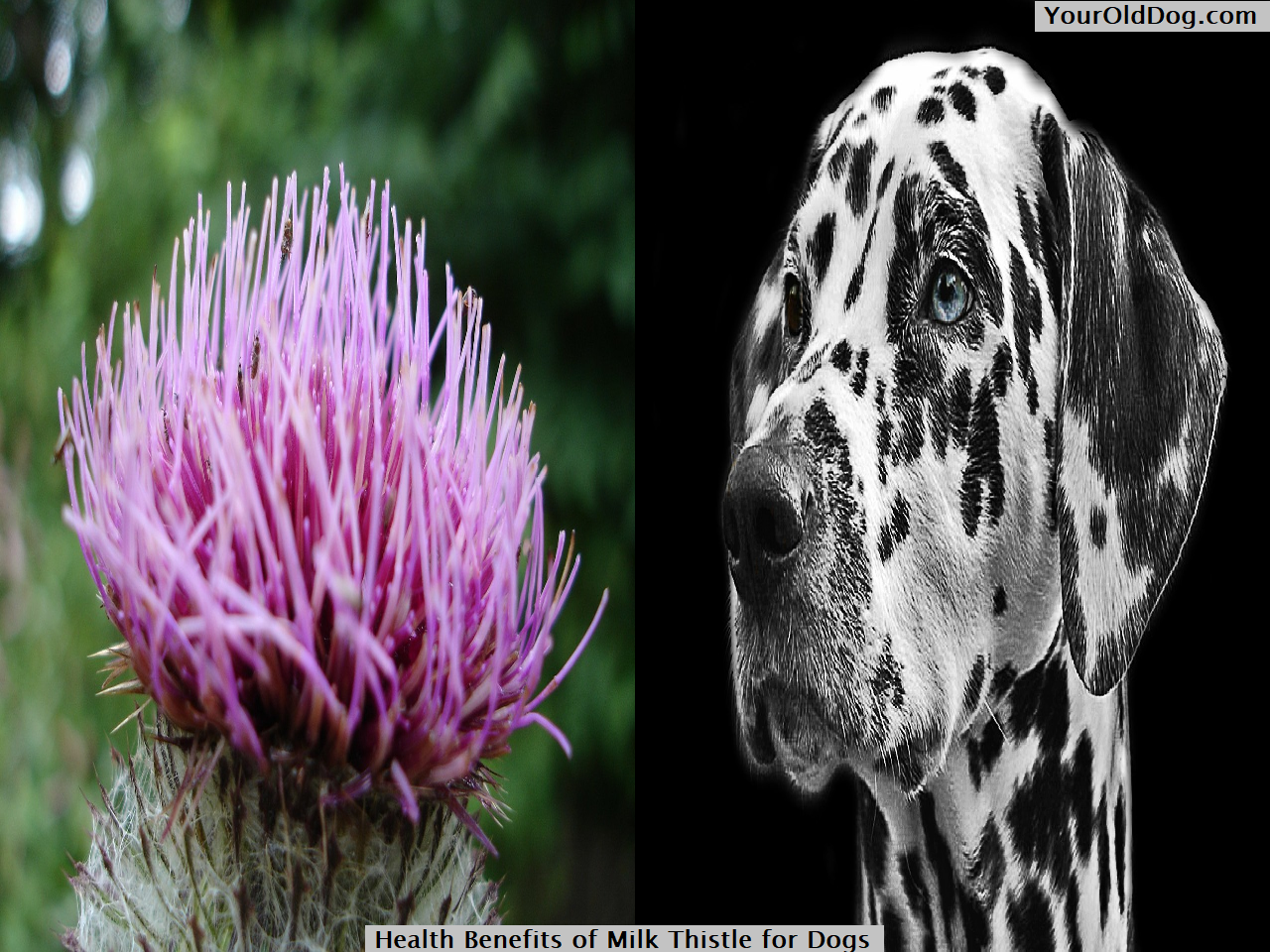 Health Benefits of Milk Thistle for Dogs