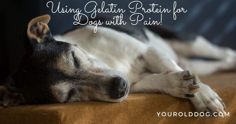 gelatin protein for dogs with pain