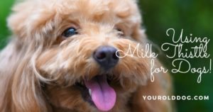 milk thistle dosage for dogs