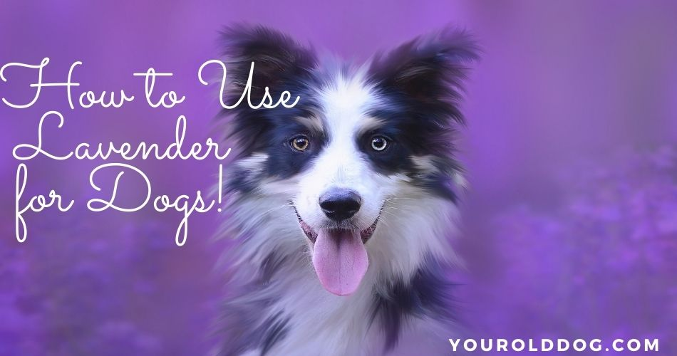 how to use lavender for dogs