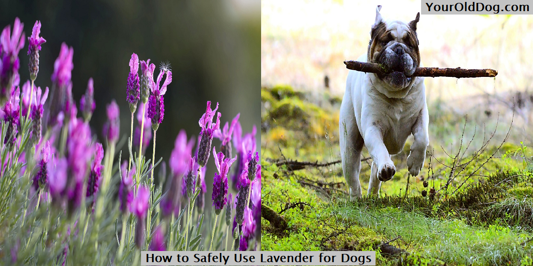 Lavender for dogs