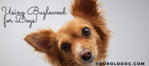 using the herb bugleweed for dogs