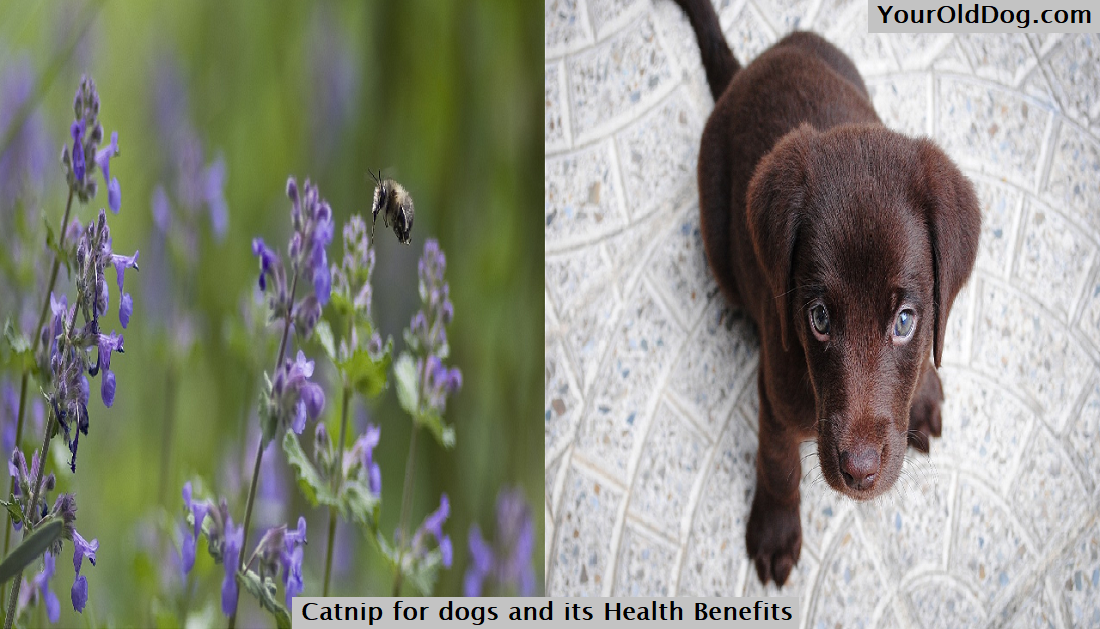 Catnip for dogs and its Health Benefits
