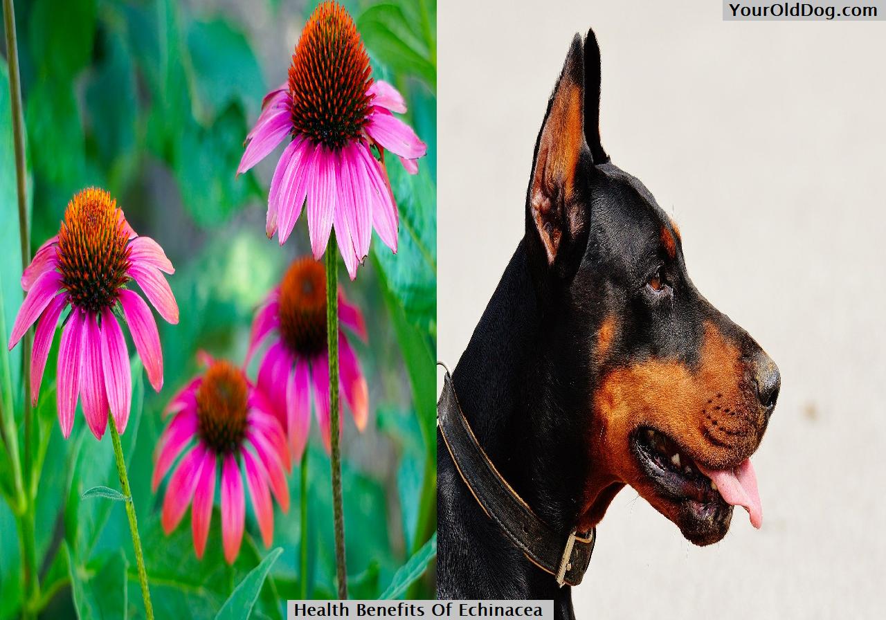 Health Benefits Of Echinacea