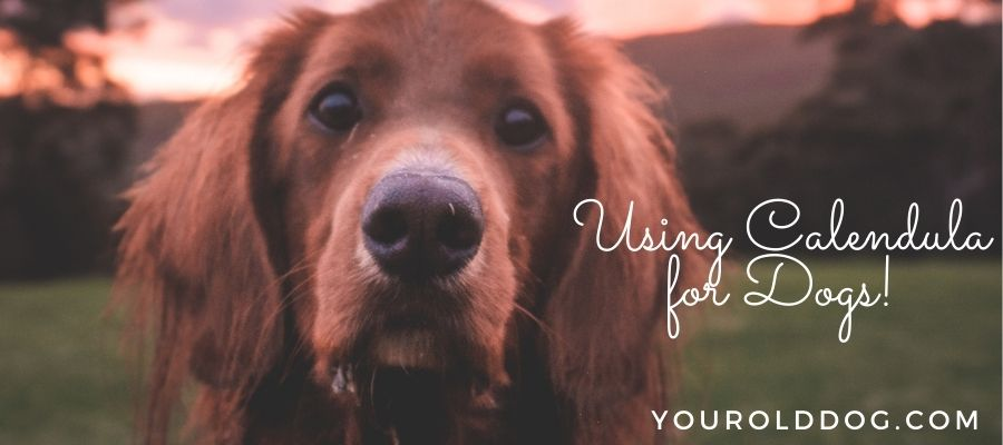 using calendula for dogs