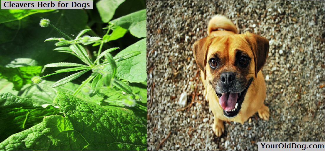 Cleavers Herb for Dogs