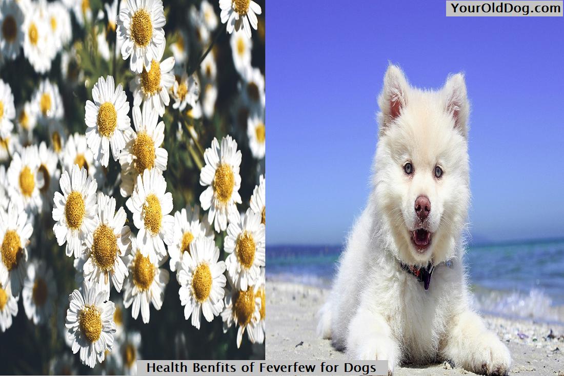 Health Benefits of Fewfever