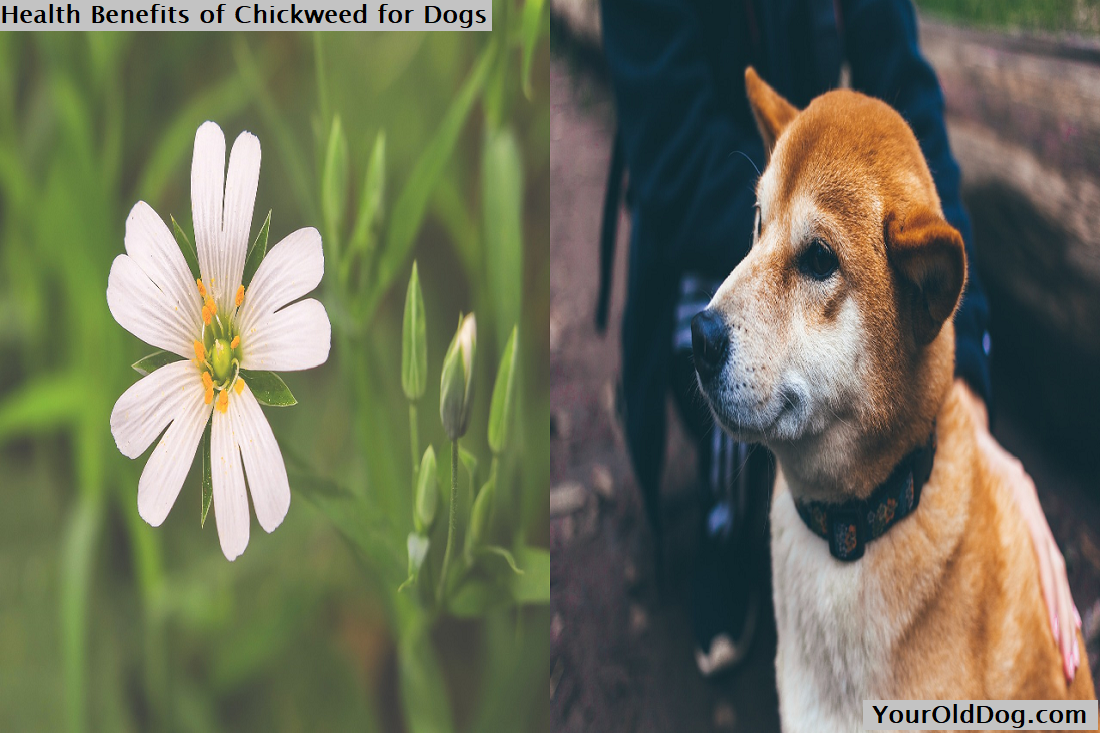 Health Benefits of Chickweed for Dogs