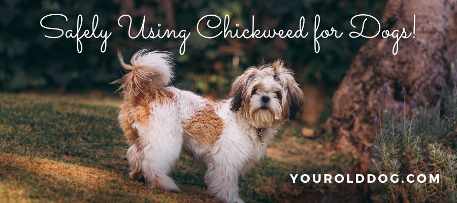 using chickweed for dogs