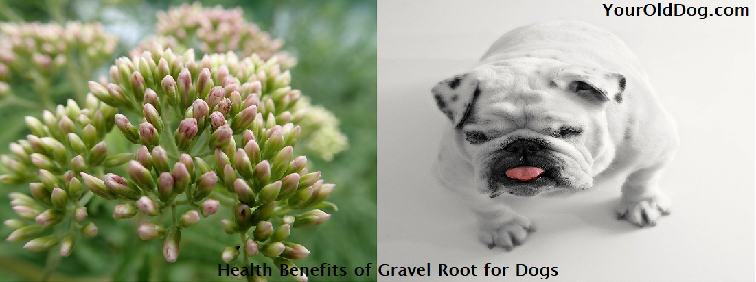 Health Benefits of Gravel Root for Dogs