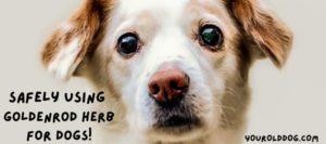 using goldenrod for dogs