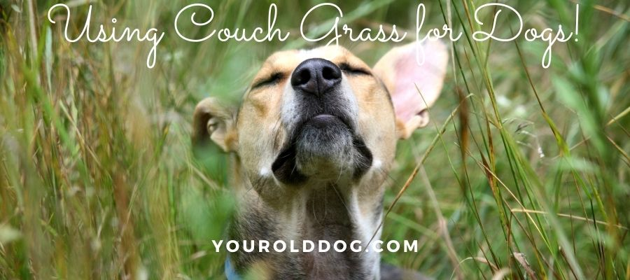 how to use couch grass for dogs