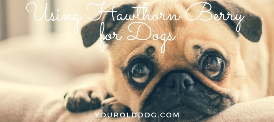how to use hawthorn berry for dogs