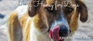 how to use honey for dogs