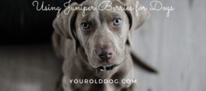 using juniper berry for dogs