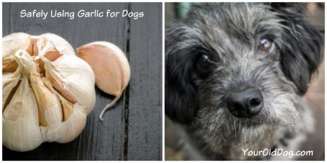 how to safely use garlic for dogs