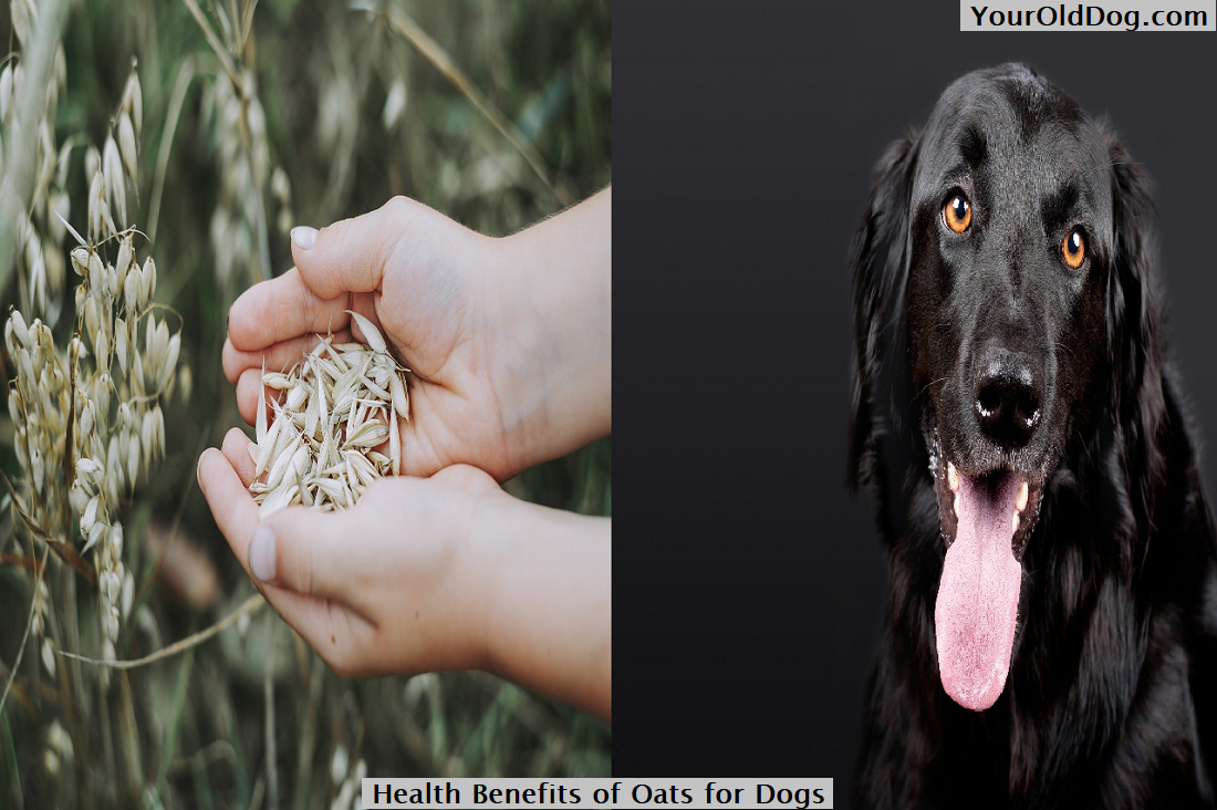 Health Benefits of Oats for Dogs