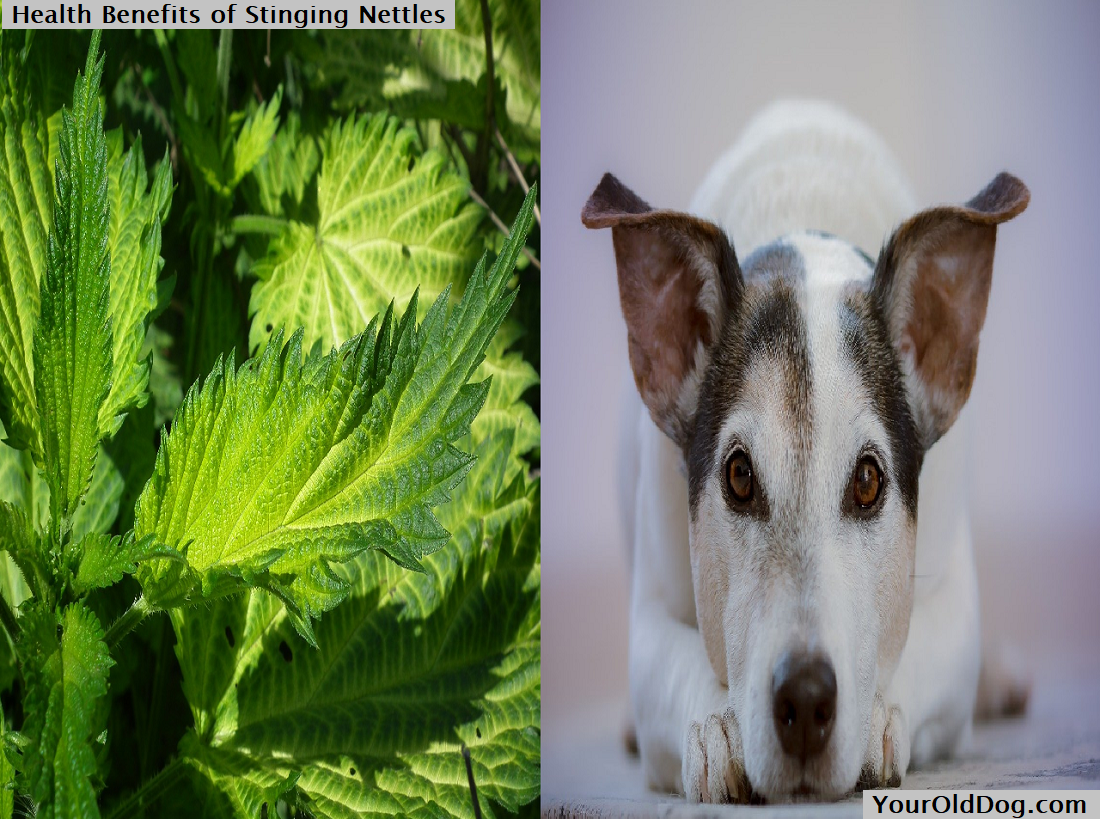 Health Benefits of Stinging Nettles