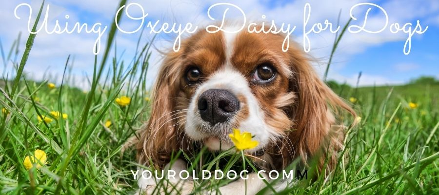 using oxeye daisy for dogs