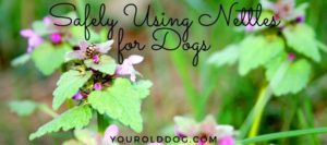 using stinging nettle for dogs