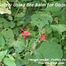 using bee balm for dogs