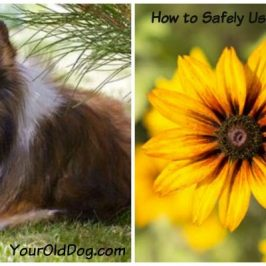 arnica for dogs and how to use it