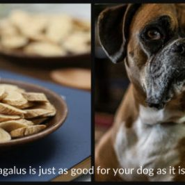 learn how good astragalus is for your dog