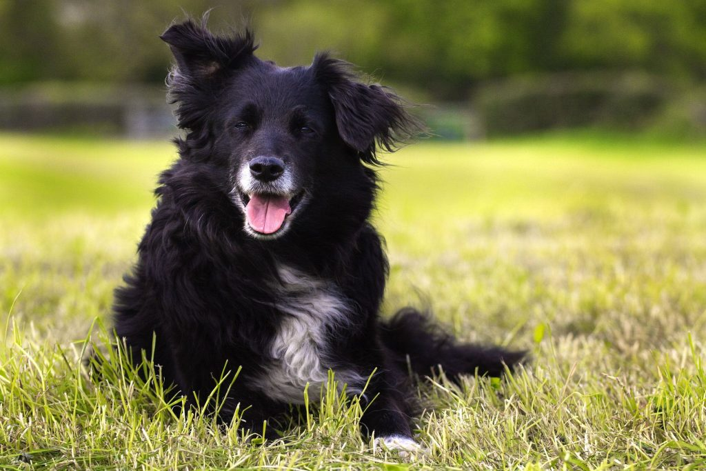 image of border collie for article on resveratrol and dogs